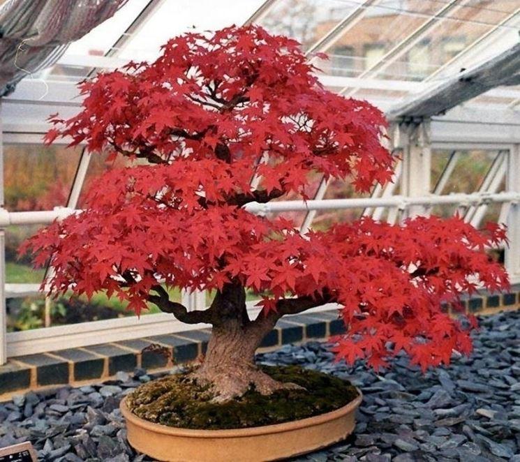 Acero rosso agricoltura e giardinaggio for Acero rosso giapponese